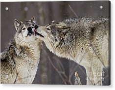 Kissy Face Acrylic Print by Wolves Only