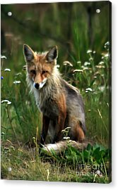 Kit Red Fox Acrylic Print