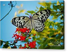 Acrylic Print featuring the photograph Kite Butterfly by Peggy Franz