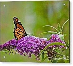 Kittatiny Monarch Acrylic Print