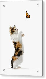 Kitten And Monarch Butterfly Acrylic Print by Wave Royalty Free