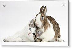 Kitten And Netherland Dwarf Rabbit Acrylic Print by Mark Taylor