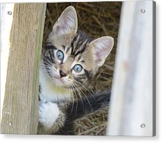 Kitten Acrylic Print by Diane Mitchell