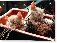 Kitten Flowers Acrylic Print by Dorothy Berry-Lound