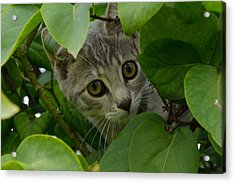 Kitten In The Bushes Acrylic Print