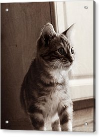 Kitten In The Light Acrylic Print by Melanie Lankford Photography