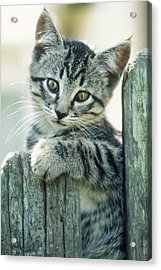 Acrylic Print featuring the photograph Kitten On Fence by Judi Baker