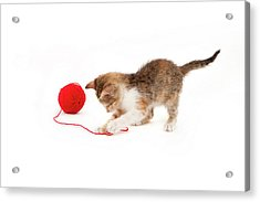 Kitten Playing With A Ball Of Red Wool Acrylic Print by By Kerstin Claudia