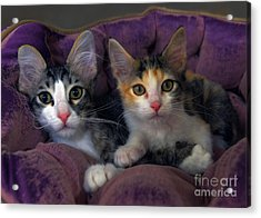 Kittens In A Purple Bed Acrylic Print