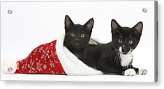 Kittens In Christmas Hat Acrylic Print by Mark Taylor