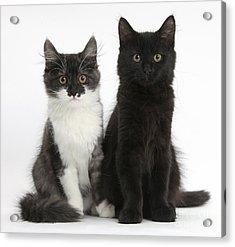 Kittens Sitting Acrylic Print