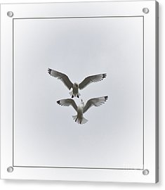 Kittiwakes Dancing In The Air Acrylic Print by Heiko Koehrer-Wagner