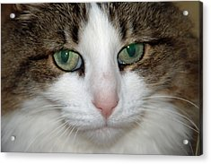 Kitty Acrylic Print by Aimee L Maher Photography and Art Visit ALMGallerydotcom