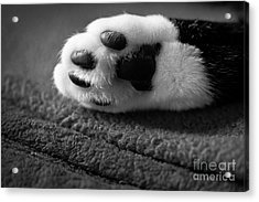 Kitty Paw Close Up Acrylic Print by Sharon Dominick