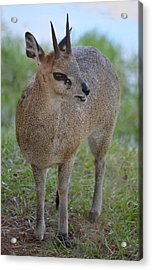 Klipspringer Acrylic Print by Richard Bryce and Family