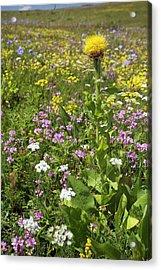 Knapweed (centaurea Macrocephala) Acrylic Print by Bob Gibbons