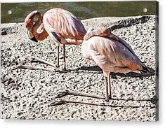 Kneeling Flamingos Acrylic Print