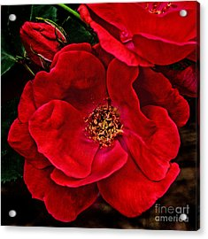 Knockout Red Acrylic Print