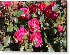 Knockout Roses Acrylic Print