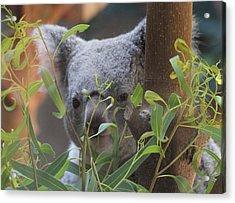 Koala Bear  Acrylic Print by Dan Sproul