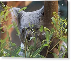 Koala Bear  Acrylic Print