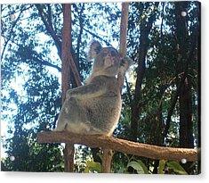 Koala Bear In Australia Acrylic Print