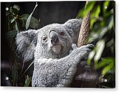 Koala Bear Acrylic Print by Tom Mc Nemar
