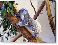 Koala Climbing Tree Acrylic Print by Chris Flees