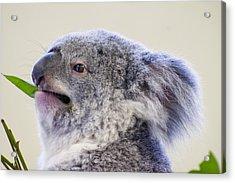 Koala Close Up Acrylic Print by Chris Flees