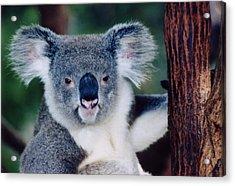 Koala Full Face Acrylic Print