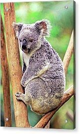 Koala In A Tree Acrylic Print by Bildagentur-online/mcphoto-schulz