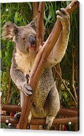Koala  Acrylic Print by Laura Hiesinger
