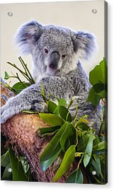 Koala On Top Of A Tree Acrylic Print