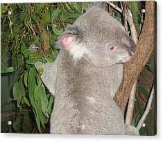 Koala In Tree Acrylic Print