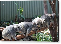 Koala Team Acrylic Print