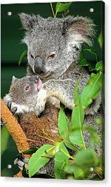 Koalas Acrylic Print by Bildagentur-online/mcphoto-schulz