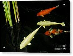 Koi Fish In Pond Acrylic Print