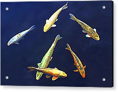 Koi Floating In Blue Acrylic Print by Wernher Krutein