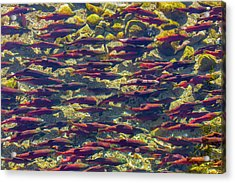 Kokanee Salmon Head Upstream Acrylic Print