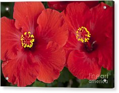 Kokio Ulaula - Tropical Red Hibiscus Acrylic Print by Sharon Mau