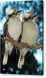 Kooka Duet Acrylic Print