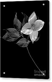 Kousa Dogwood In Black And White Acrylic Print