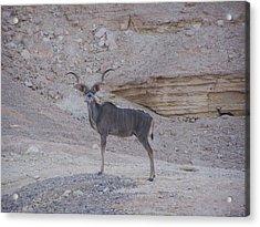 Kudu King Acrylic Print by Noreen HaCohen