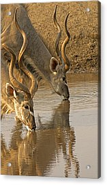 Acrylic Print featuring the photograph Kudus by Dennis Cox WorldViews