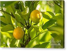 Kumquats Acrylic Print