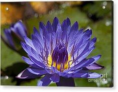 La Fleur De Lotus - Star Of Zanzibar Tropical Water Lily Acrylic Print by Sharon Mau