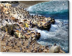 La Jolla Cove Wildlife Acrylic Print