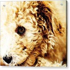 Labradoodle Dog Art - Sharon Cummings Acrylic Print by Sharon Cummings