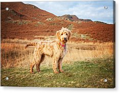 Acrylic Print featuring the digital art Labradoodle Puppy by Mike Taylor