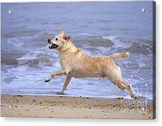 Labrador Cross Dog Running Acrylic Print by Geoff du Feu